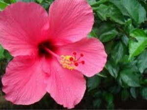 face pack with hibiscus-to-remove-dead-cells-and-spots-from-the-skin